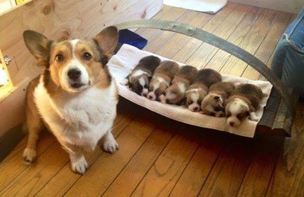 cachorros-filhotes-11