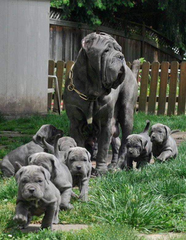 cachorros-filhotes-12