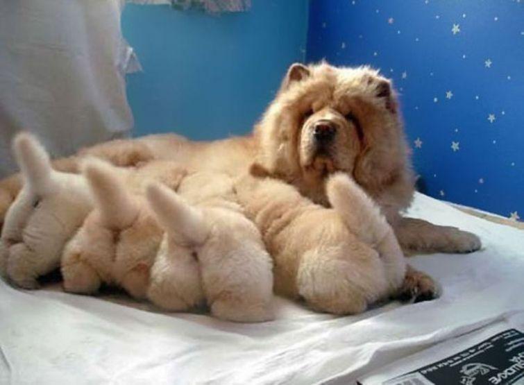 cachorros-filhotes-18