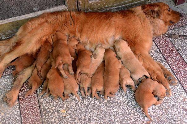 cachorros-filhotes-4