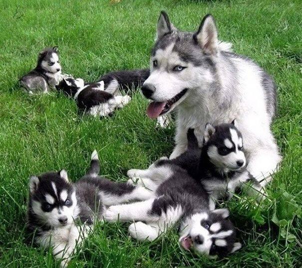 cachorros-filhotes-7