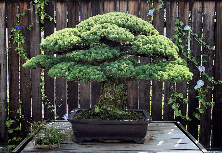 hiroshima-bonsai-1