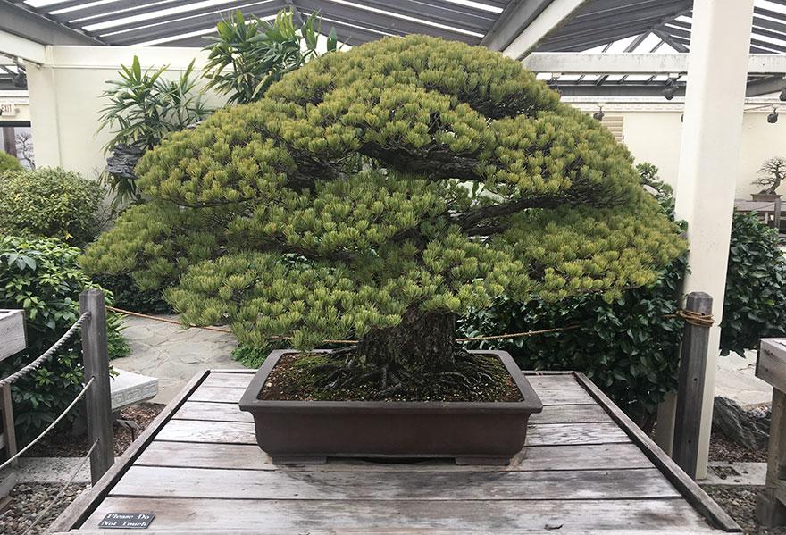 hiroshima-bonsai-2