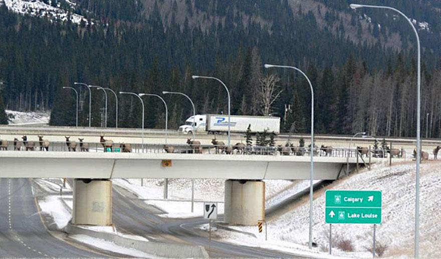 Cruzamento para animais selvagens em Alberta no Canadá