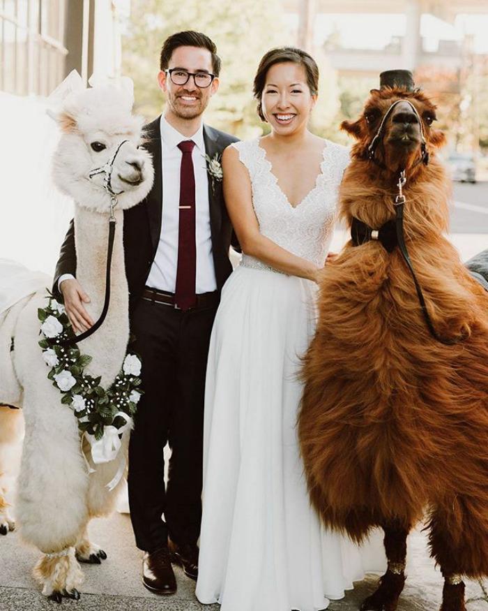 lhamas-casamentos (1)