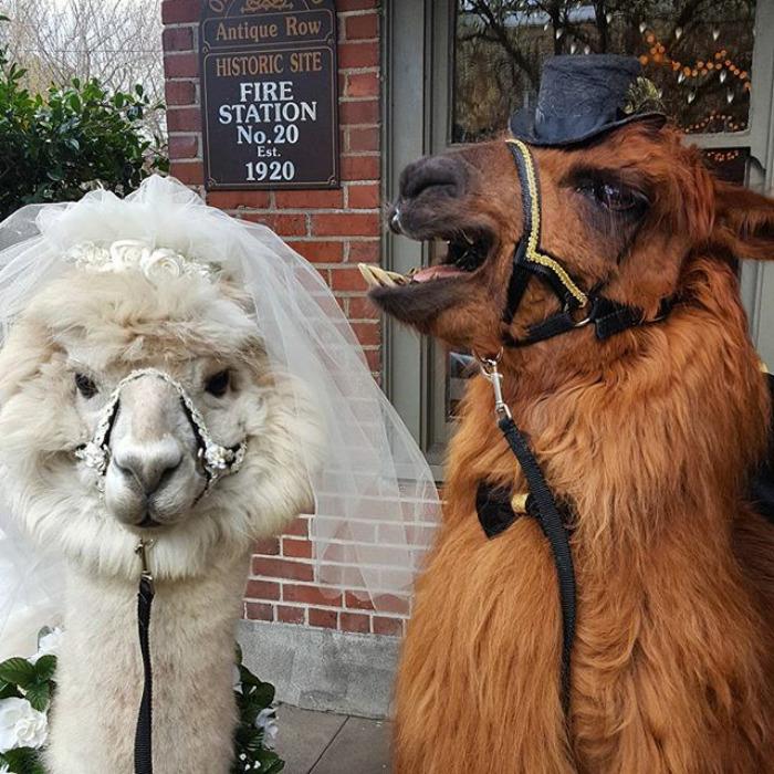 lhamas-casamentos (11)