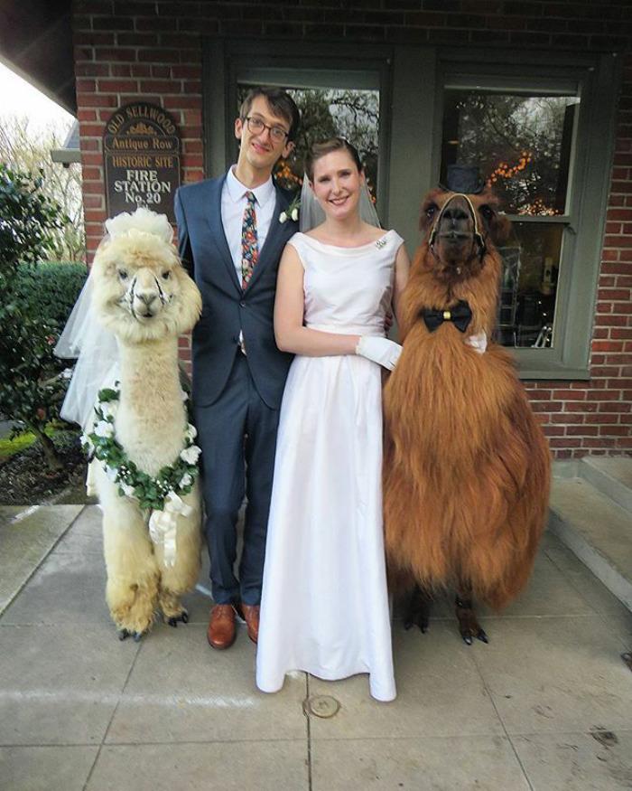 lhamas-casamentos (12)