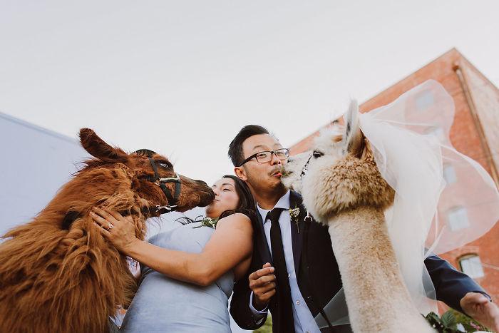 lhamas-casamentos (15)