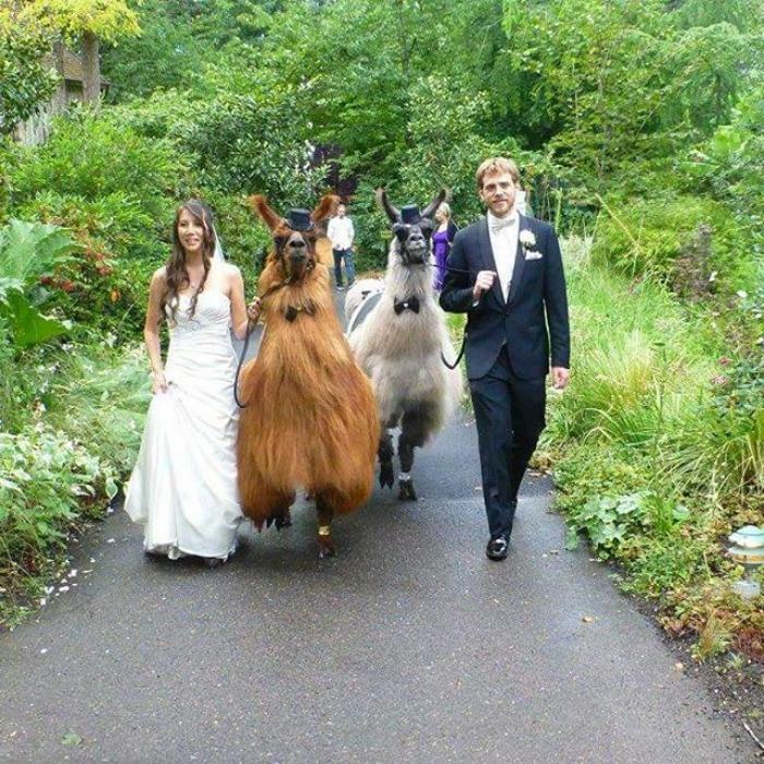 lhamas-casamentos (17)