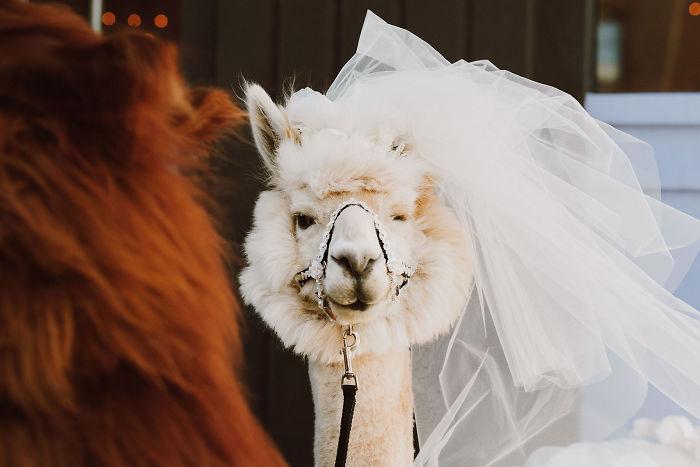 lhamas-casamentos (2)
