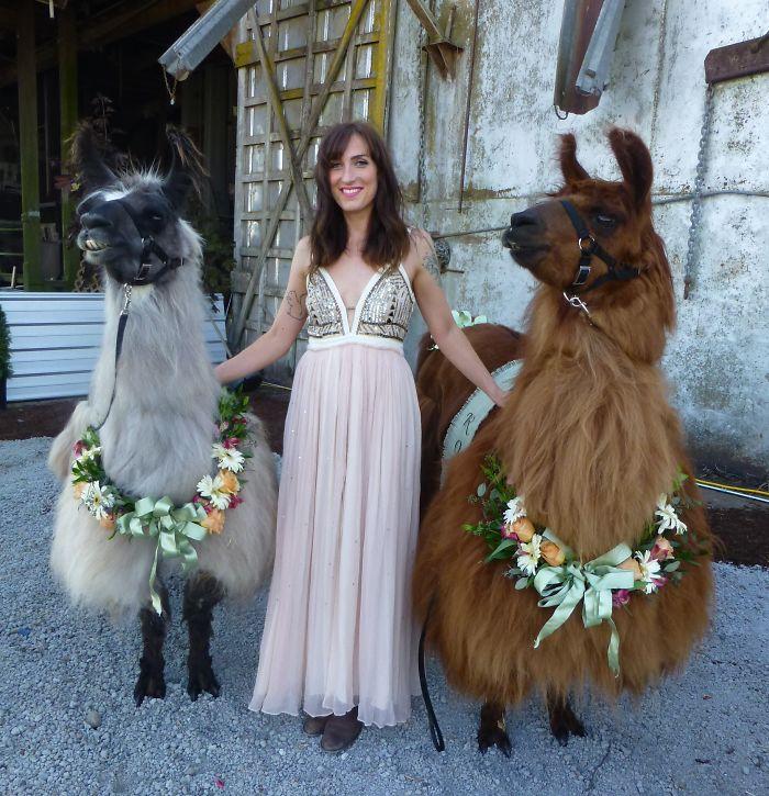 lhamas-casamentos (20)