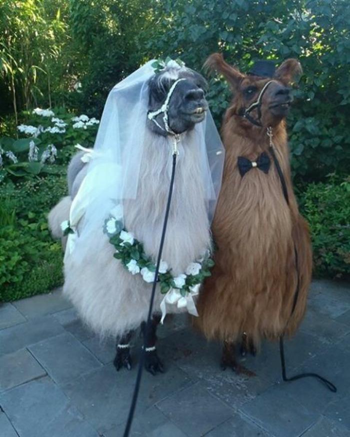 lhamas-casamentos (24)