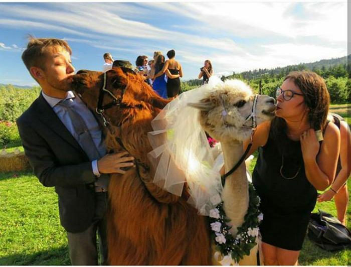lhamas-casamentos (27)