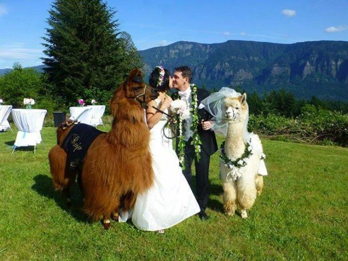 lhamas-casamentos (29)
