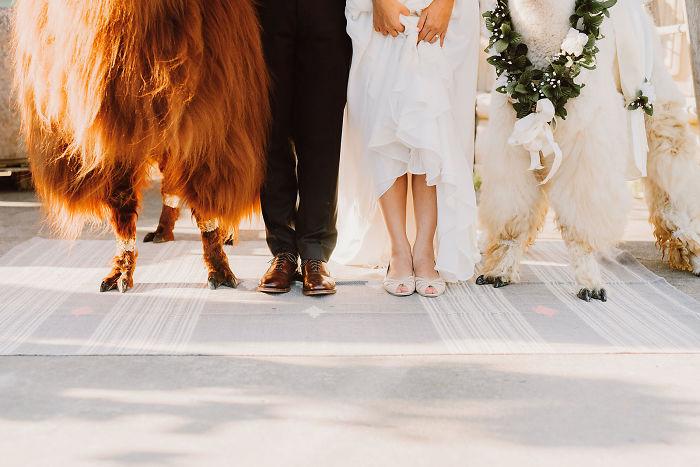 lhamas-casamentos (3)