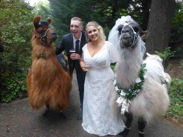 lhamas-casamentos (31)