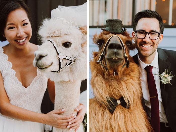 lhamas-casamentos (4)