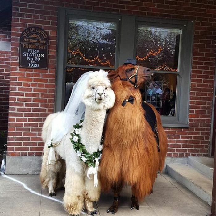 lhamas-casamentos (5)
