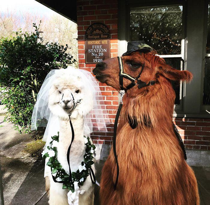 lhamas-casamentos (7)