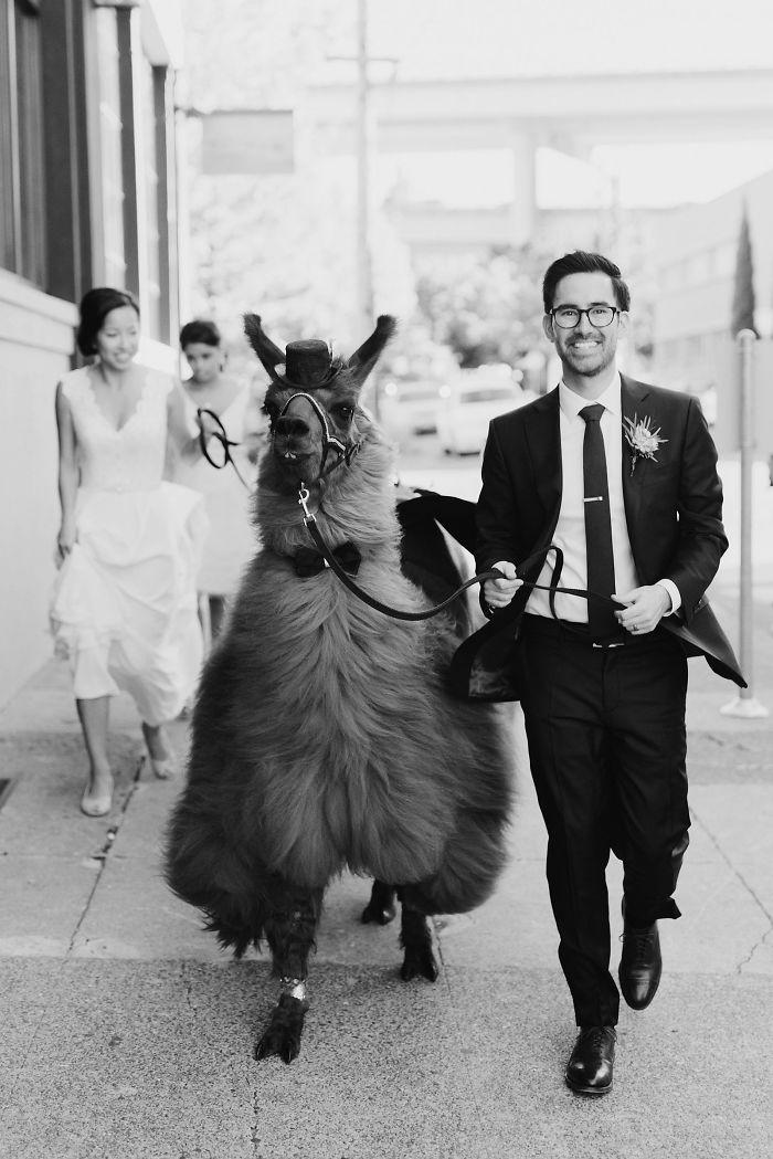lhamas-casamentos (9)