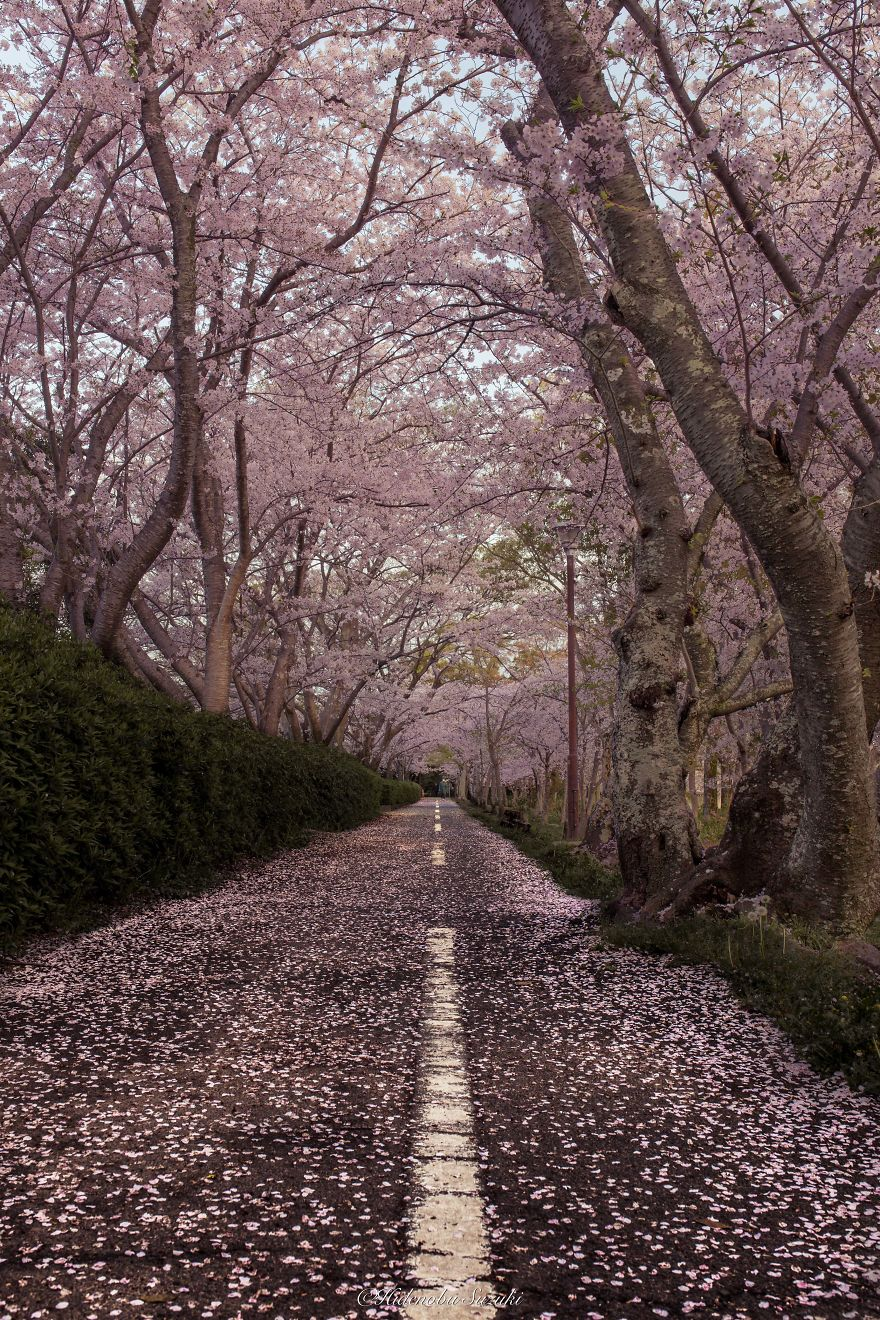 sakura-japao (11)