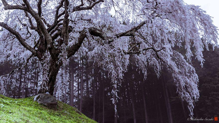 sakura-japao (6)