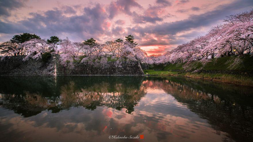 sakura-japao (9)