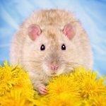 ratos-fofos (10)