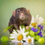 ratos-fofos (17)