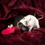 ratos-fofos (19)
