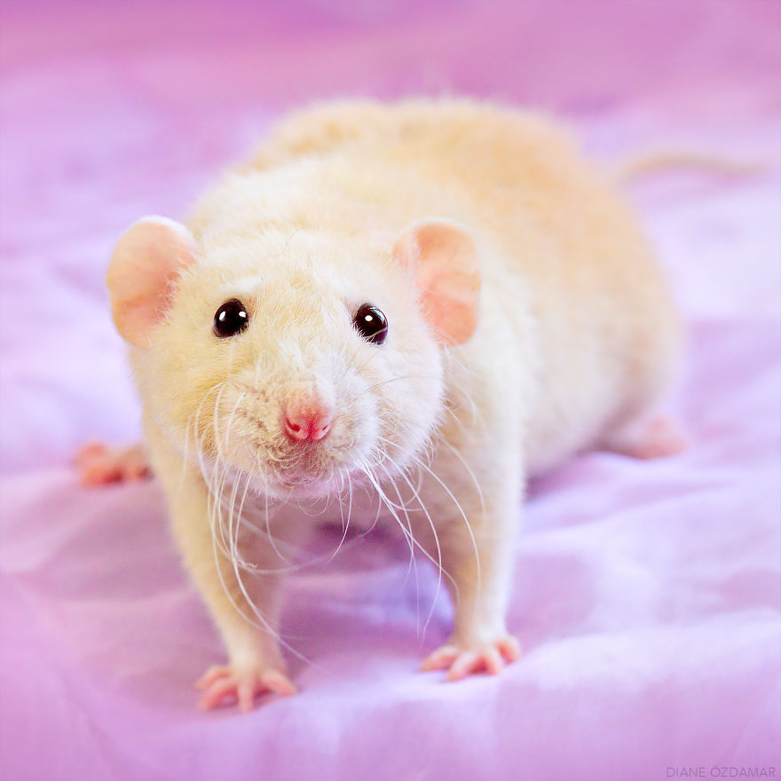 ratos-fofos (20)