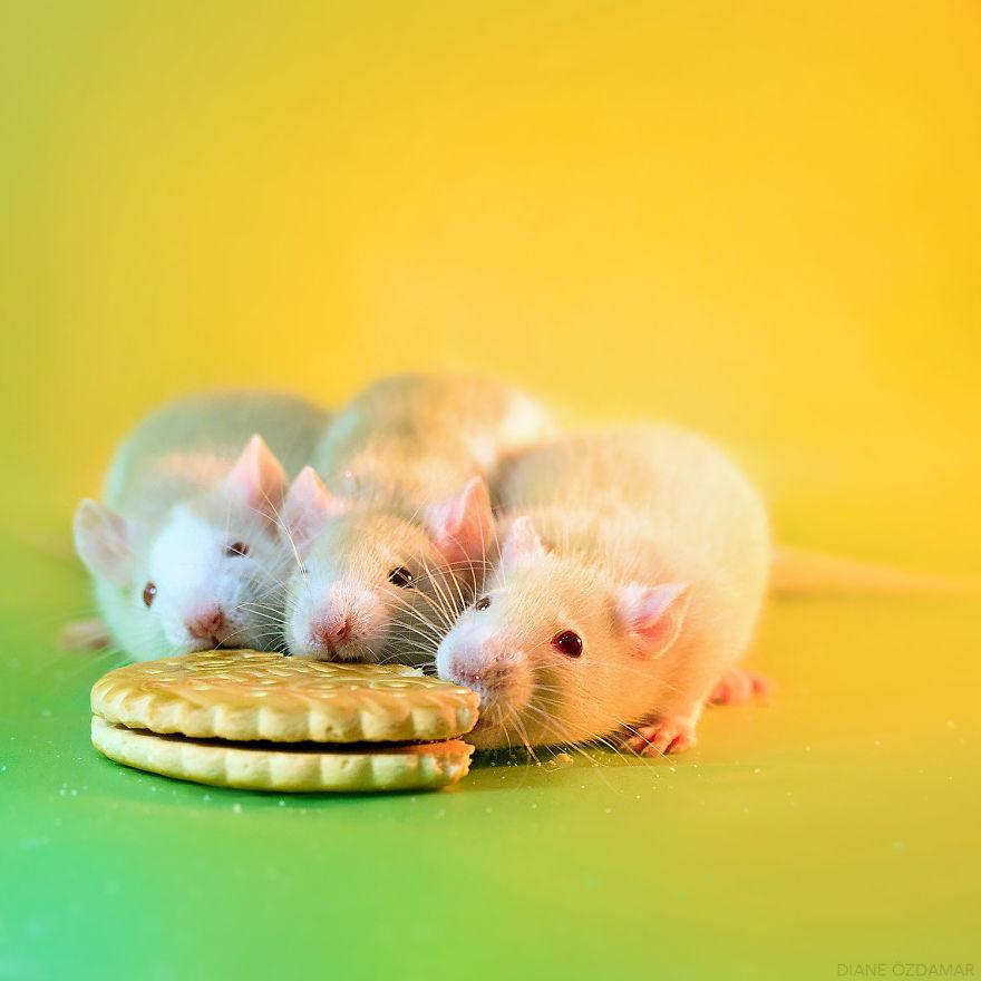 ratos-fofos (26)
