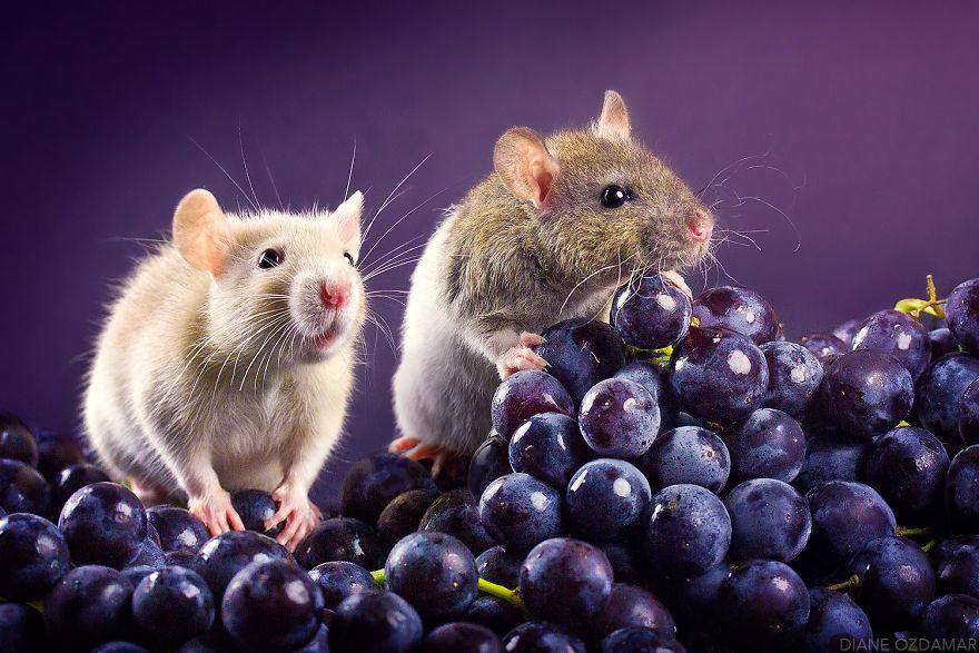ratos-fofos (28)