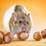 ratos-fofos (29)