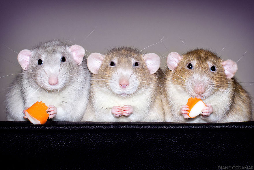 ratos-fofos (3)