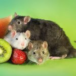 ratos-fofos (31)