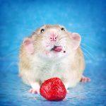 ratos-fofos (6)