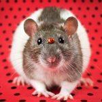 ratos-fofos (7)