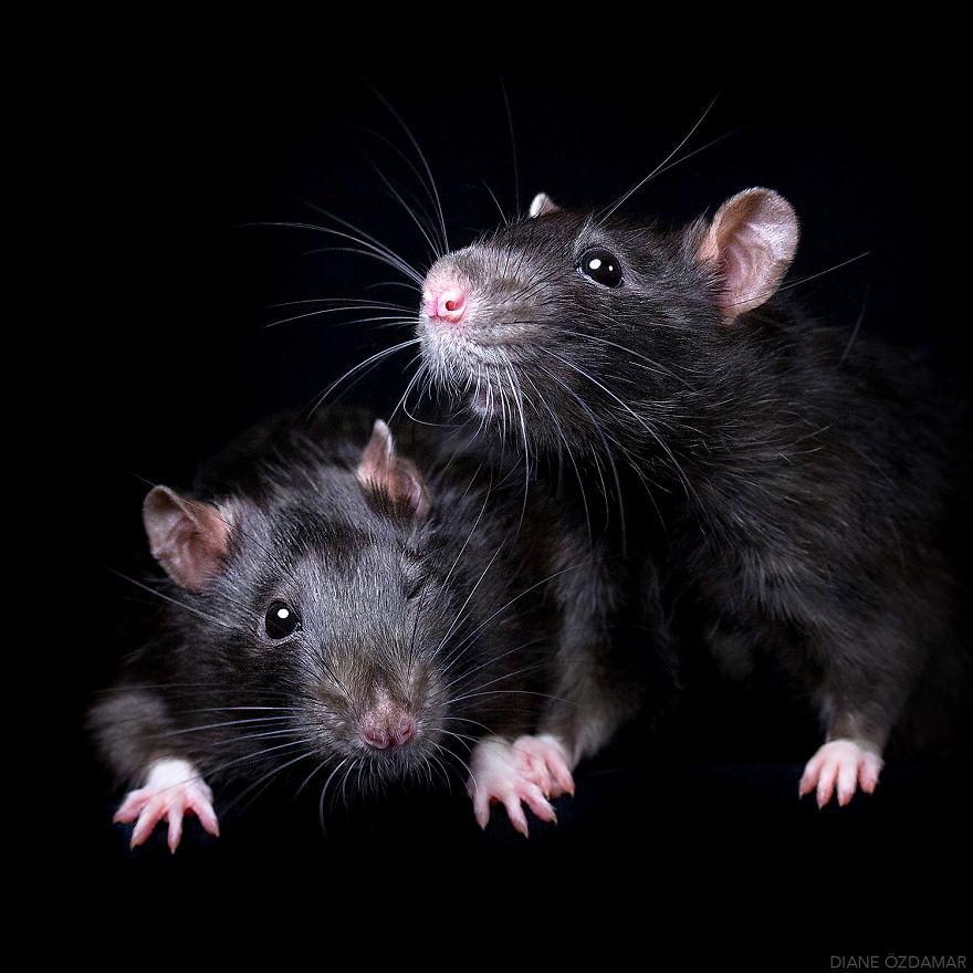 ratos-fofos (9)