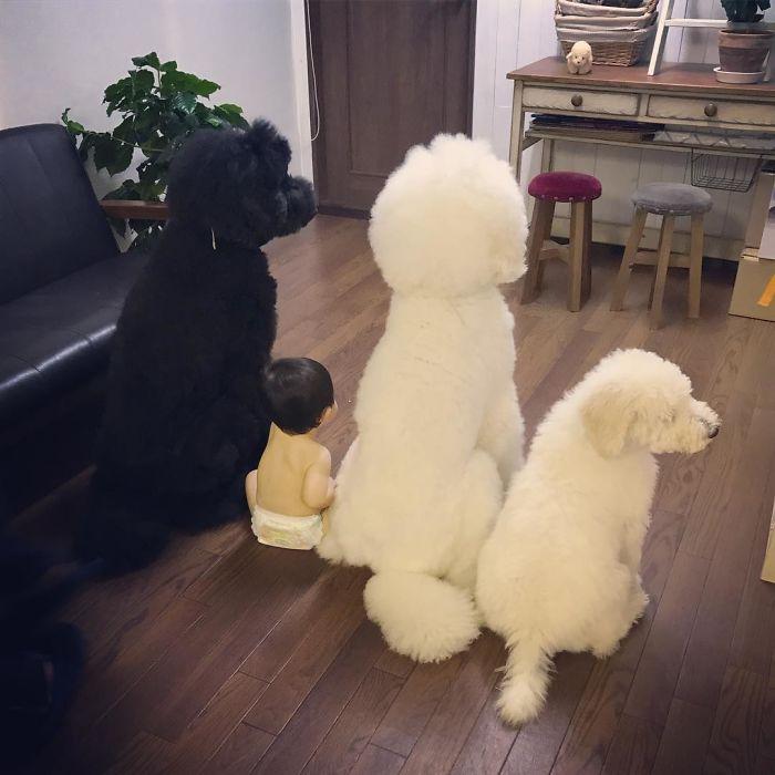 mame-riku-poodle (12)