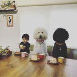 mame-riku-poodle (3)